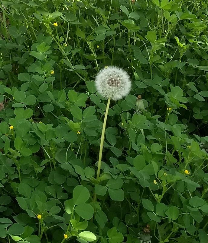 dandelion in clover