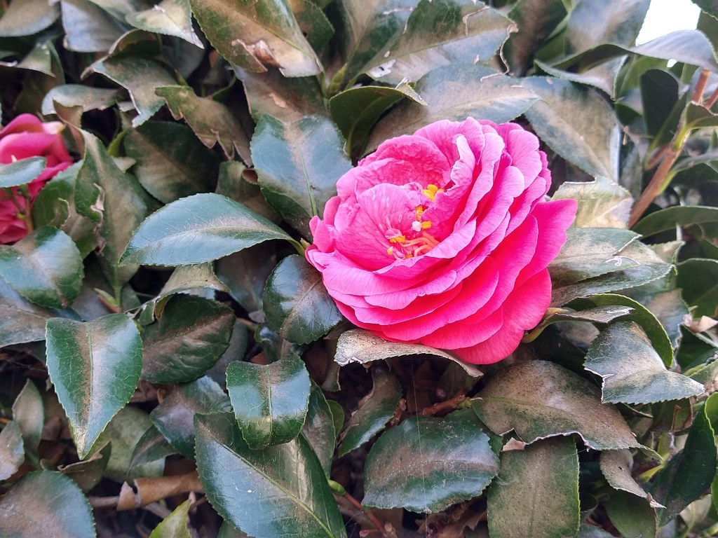 close up of a pink flower on a bush